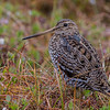 Dobbeltbekkasin; great snipe; norway; tromsø