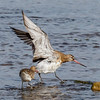 Lappspove, Bar-tailed Godwit, tromsø, Norway
