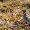 HEILO GOLDEN PLOVER NORWAY