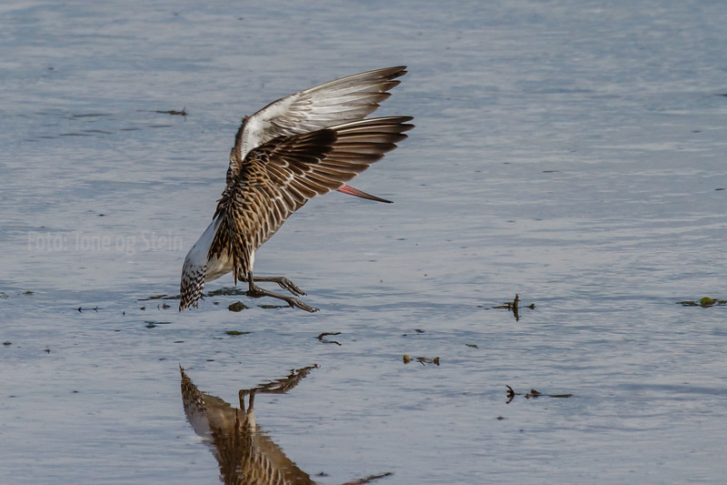 Lappspove, Bar-tailed Godwit, tromsø, Norway