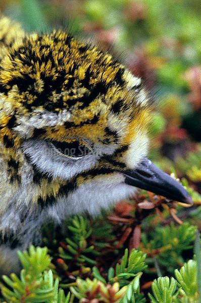 HEILO, Golden plover, Juvenile, Slettnes, Gamvik, Norway