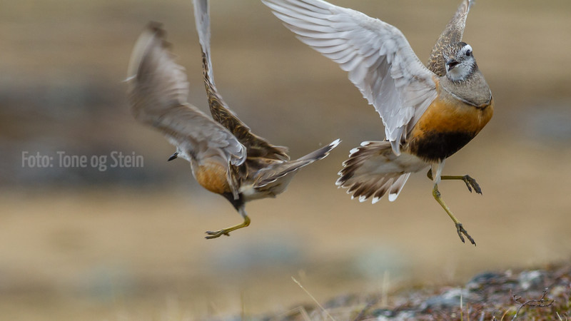 BOLTIT, DOTTEREL, DIVIDAL, TROMS, NORWAY