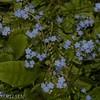 FORGET-ME-NOT, FORGLEMMEGEI