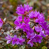Lapland Rose-Bay Rhododendron lapponicum Lapprose
