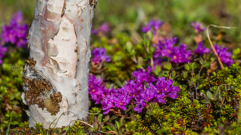 LAPPROSE, LAPLAND ROSEBAY, RHODODENDRON, TROMS