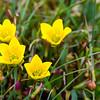 Myrsildre, Marsh saxifrage, Saxifraga hirculus ssp. compacta, Svalbard lufthavn