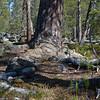 Øvre Dividal nasjonalpark, Furu, pine, national park