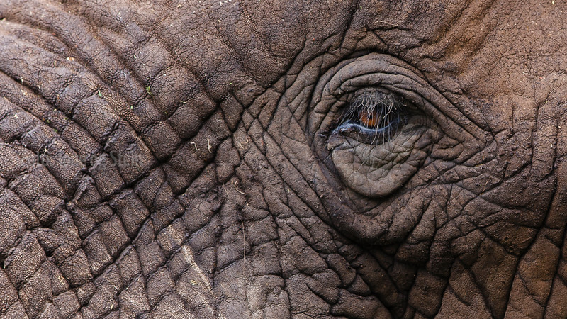 Afrikansk elefant, Tanzania