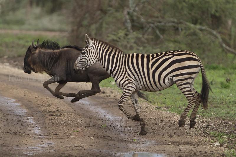 ZEBRA, GNU, WILDEBEEST, SEBRA, Equus quagga, NDUTU, SERENGETI, TANZANIA