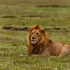 LØVE, LION, SIMBA, TANZANIA