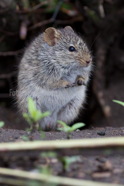 MUS, Mouse, Rodenta, Ndutu, Tanzania