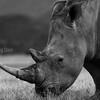White rhino, Lake Nakuru, Kenya