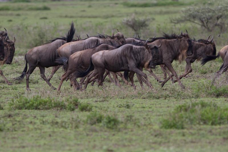 STRIPEGNU, GNU, WILDEBEEST, Connochaetes taurinus, NDUTU, SERENGETI, TANZANIA