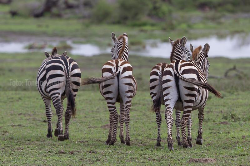 ZEBRA, SEBRA, Equus quagga, NDUTU, SERENGETI, TANZANIA