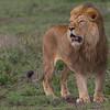 LION, SIMBA, LØVE, MALE, HANN, NDUTU, SERENGETI, TANZANIA