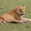LION, SIMBA, LØVE, FEMALE, HUNN, NDUTU, SERENGETI, TANZANIA