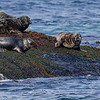 HAVERT GREY SEAL GJESVÆR NORDKAPP NORGE
