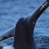 Knølhval (Megaptera novaeangliae) humpback whale