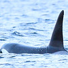 Spekkhogger, Orca, Killer whale