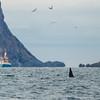 Spekkhogger - killer whale