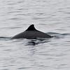 NISE - Harbour Porpoise