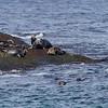 HAVERT, Grey seal