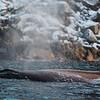 Knølhval (Megaptera novaeangliae) humpback whale, baleen whale, Tromsø, norway, Norge