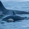 Spekkhogger, Orcinus orca, Orca, Killer whale, Tromsø, norway, Norge