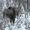 Elg/Elk/Moose Straumsbukta 1-årig kalv, First year calf