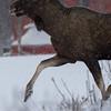 Elg/Elk/Moose
