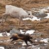 JERV JAGER REIN, Målselv, Troms, Norge, wolverine, reindeer