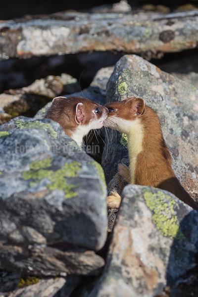 RØYSKATT, hermelin, weasel, gamvik, Norway