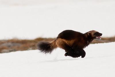 Norwegian Mammals