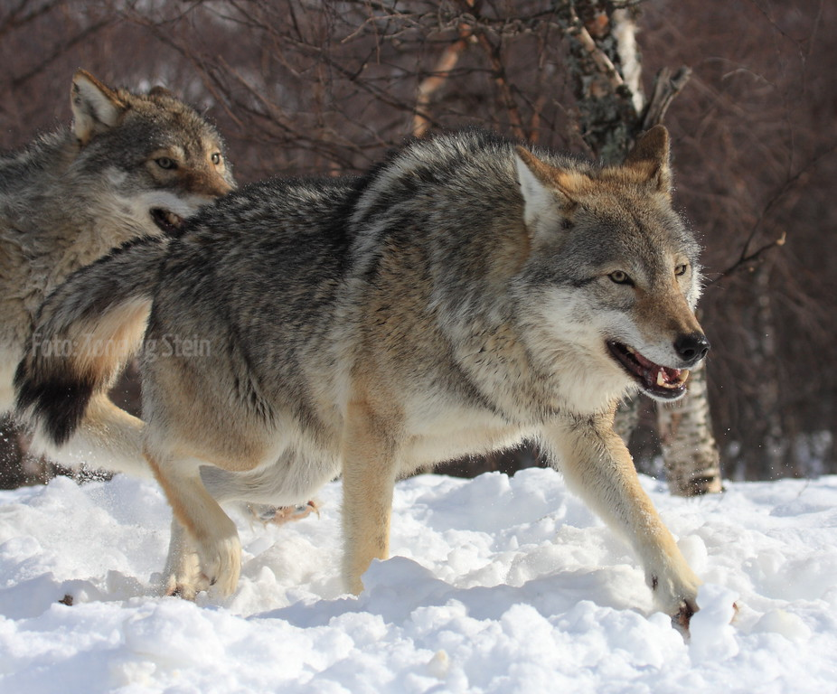 IMAGE: http://tromsofoto.smugmug.com/Mammals/Norwegian-Mammals/i-bkdPGkt/0/XL/ulv_SNI_8885-XL.jpg