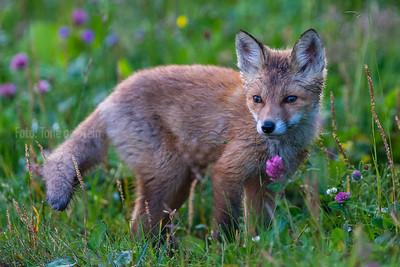 RØDREV; pattedyr; red fox; vulpes, Juvenile, cub, valp