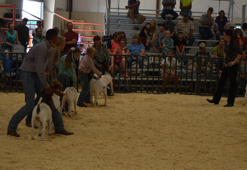 The judge looks over the top lightweight goats from each class to determine the champion during the Junior Goat Show Wednesday, Aug. 3, 2016 at the Logan County Fair.