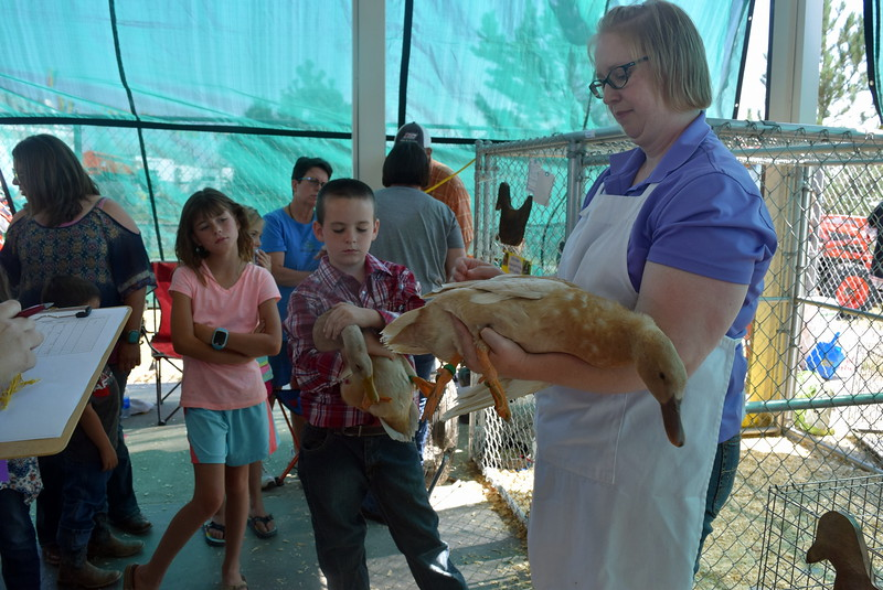 Braylon Bruns holds on to one of ducks while judge Colleen Gattshall looks over another one during the Junior Poultry Show Thursday, Aug. 4, 2016, at the Logan County Fair.