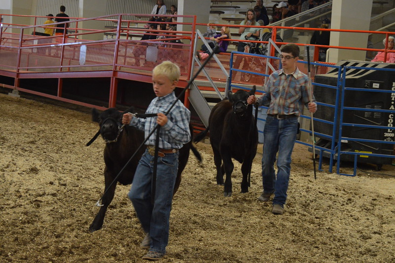 Exhibitors in the Junior Heifer Calf class walk their calves around the show ring during the breeding classes of the Junior Beef Show Friday, Aug. 5, 2016, at the Logan County Fair.