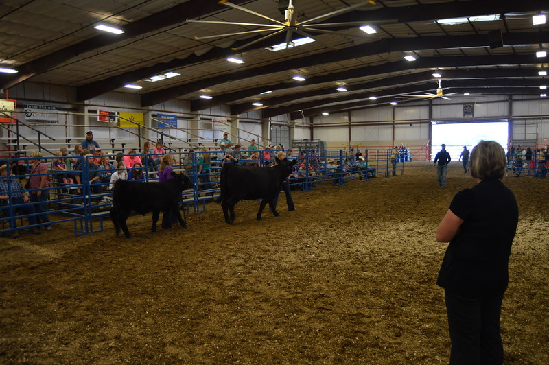 Exhibitors in the Producing Cow class enter the ring  as the judge watches during the Junior Beef Show Friday. Logan County Fair 8.5.16