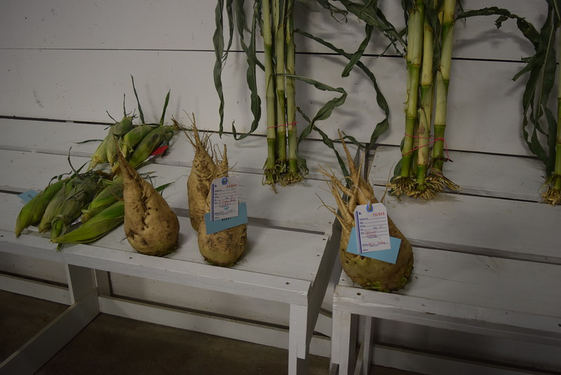 Award winning sugar beets and corn on display underneath the grandstands Saturday, Aug. 6, 2016, at the Logan County Fair.
