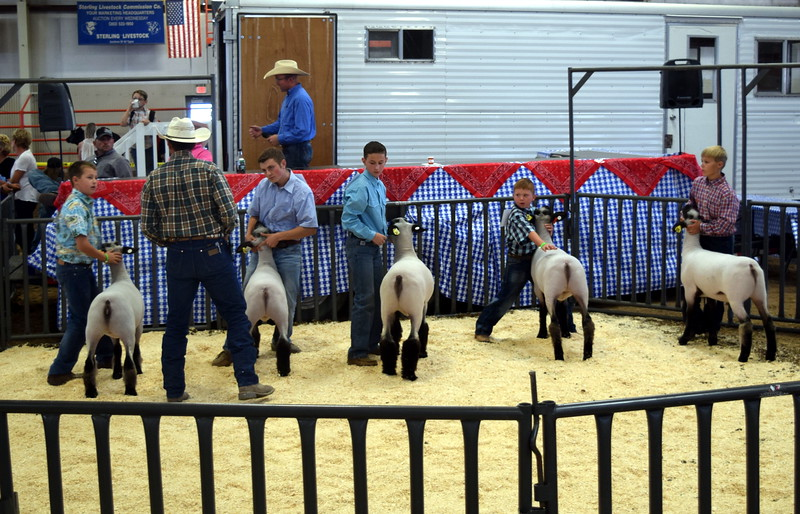 From left; Jaxon Samber, junior; Riley Meisner, senior; Cooper Dewitt, intermediate; Tyler Miller, junior; and Conner Brecht, intermediate, show their sheep during the Round Robin Showmanship Contest Friday, Aug. 5, 2016, at the Logan County Fair.
