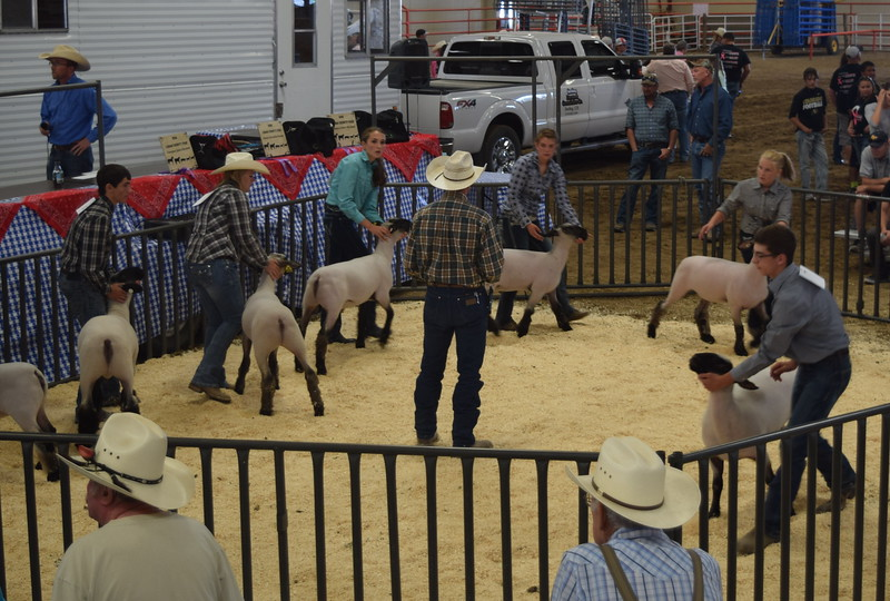 Senior showmen Tyler Gentry, Bailey Nelson, Abbey Brower, Kristi Cook, Kinlie Lewis and Jayce Maker lead their sheep around the ring during the Round Robin Showmanship Contest Friday, Aug. 5, 2016, at the Logan County Fair.