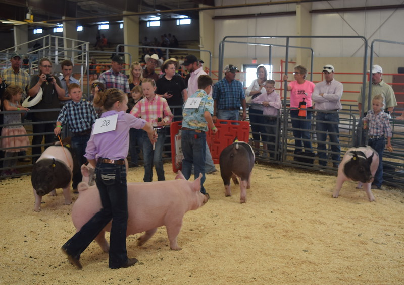 Junior showmen move their swine around the ring during the Round Robin Showmanship Contest Friday, Aug. 5, 2016, at the Logan County Fair.