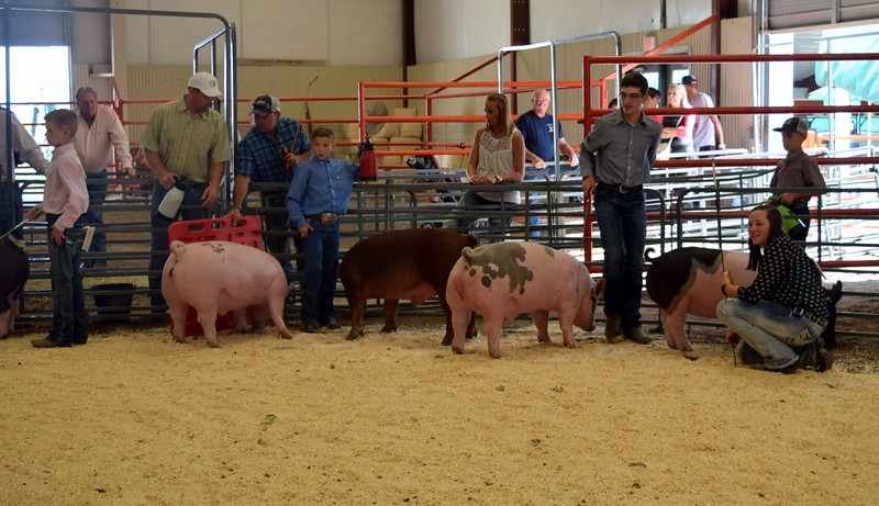 From left; Colton Hadeen, junior; Aden Young, intermediate; Jayce Maker, senior; and Alli Stromberger, intermediate, show their swine during the Round Robin Showmanship Contest Friday, Aug. 5, 2016, at the Logan County Fair.