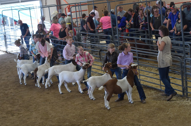 Junior showmen watch the judge as she looks over their goats during the Round Robin Showmanship Contest Friday, Aug. 5, 2016, at the Logan County Fair. From left; Hallie Lewis, Jaxon Samber, Jalyssa Maker, Colton Hadeen, Tobi-Beth Erickson, Hadlie Robinette and Tyla Thomas.