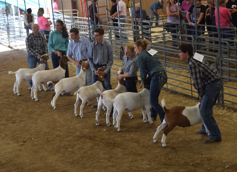Senior showmen watch the judge as they show their goats during the Round Robin Showmanship Contest Friday, Aug. 5, 2016, at the Logan County Fair. From left; Bailey Nelson, Abbey Brower, Riley Meisner, Jayce Maker, Kinlie Lewis, Cassidy Paxton and Tyler Gentry.