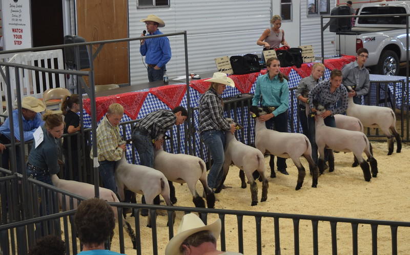 Senior showmen watch the judge as they set their sheep during the Round Robin Showmanship Contest Friday, Aug. 5, 2016, at the Logan County Fair. From left; Cassidy Paxton, Cooper Carlson, Tyler Gentry, Bailey Nelson, Abbey Brower, Kristi Cook, Kinlie Lewis and Jayce Maker.