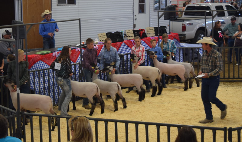 Intermediate showmen watch the judge as he looks at their sheep during the Round Robin Showmanship Contest Friday, Aug. 5, 2016, at the Logan County Fair. From left; Coy Waitley, Alli Stromberger, Kayd Goss, Abby Bud, Kaitlynn Storch, Aden Young and Jenna East.