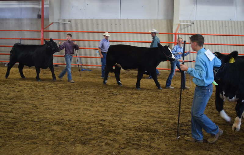 Intermediate showmen Gayd Goss, Abby Bud and Cooper Dewitt lead their cattle around the ring during the Round Robin Showmanship Contest Friday, Aug. 5, 2016, at the Logan County Fair.