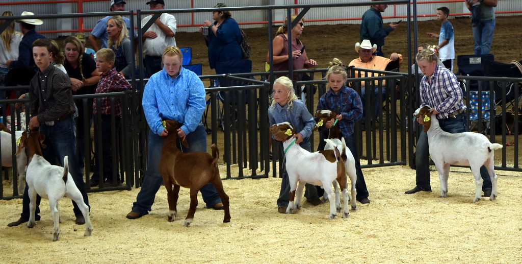 . Middle weight contest Logan County Fair Junior Goat Show Wednesday, Aug. 8, 2018.